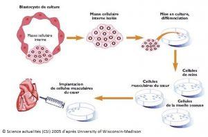 Schéma de différenciation des cellules souches embryonnaires