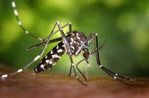 Aedes aegypti, aussi connu sous le nom de moustique tigre, transmet la dengue.